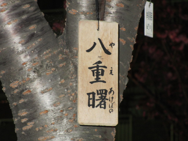 造幣局の桜の通り抜け「八重曙」