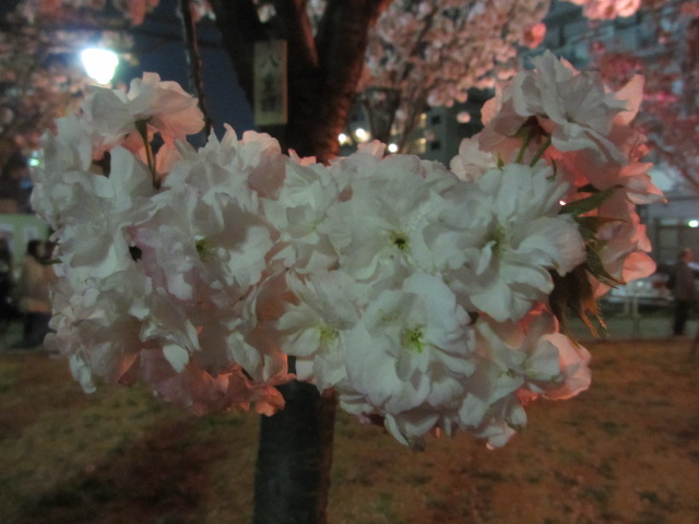 造幣局の桜の通り抜け「八重曙」3
