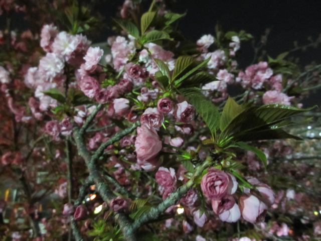 造幣局の桜の通り抜け「関山」6