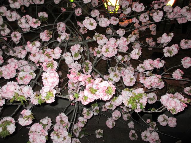 造幣局の桜の通り抜け「関山」5