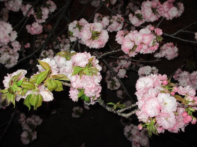 造幣局の桜の通り抜け「関山」7