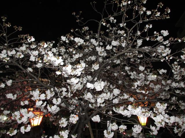 造幣局の桜の通り抜け「静香」2