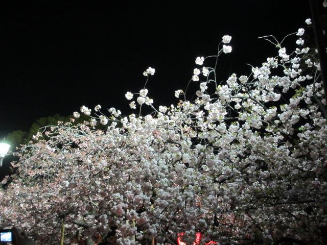 造幣局の桜の通り抜け「一葉」5