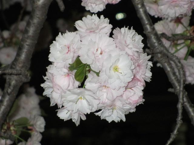 造幣局の桜の通り抜け「一葉」6