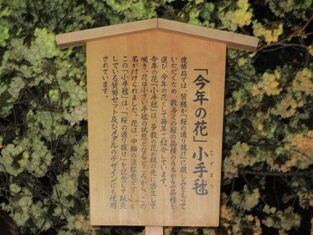 造幣局の桜の通り抜け「小手毬」