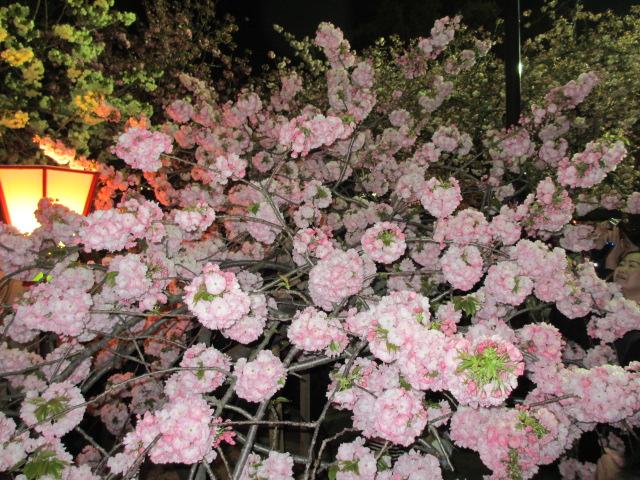 造幣局の桜の通り抜け「小手毬」2