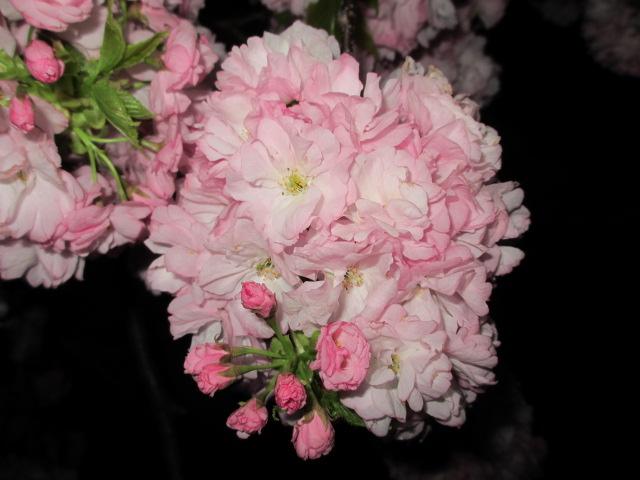 造幣局の桜の通り抜け「小手毬」4