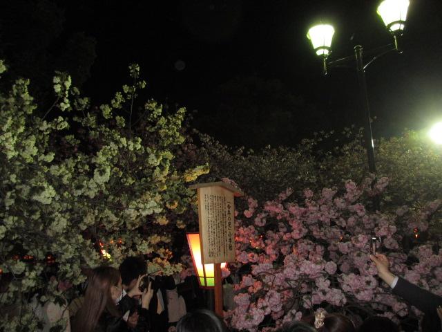 造幣局の桜の通り抜け「小手毬」5