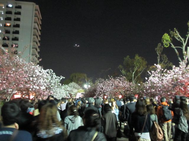 造幣局の桜の通り抜け5