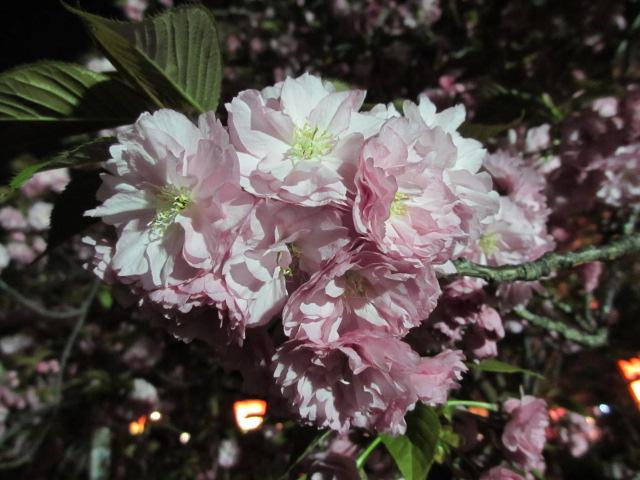 造幣局の桜の通り抜け「関山」9