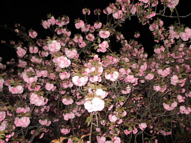 造幣局の桜の通り抜け「関山」8