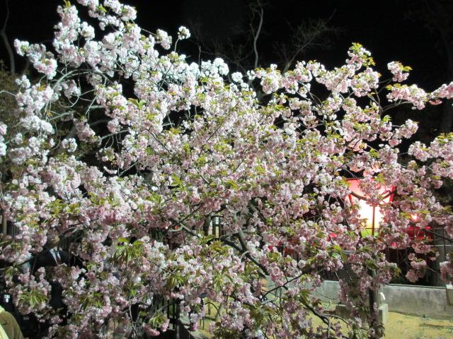 造幣局の桜の通り抜け「朱雀」2