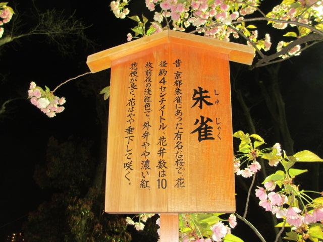 造幣局の桜の通り抜け「朱雀」