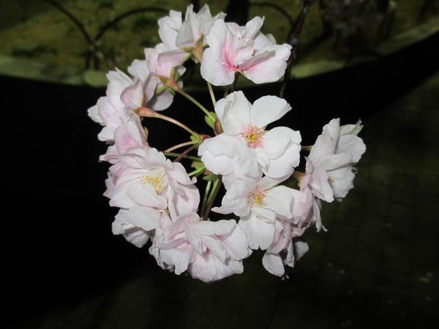 造幣局の桜の通り抜け「朱雀」3