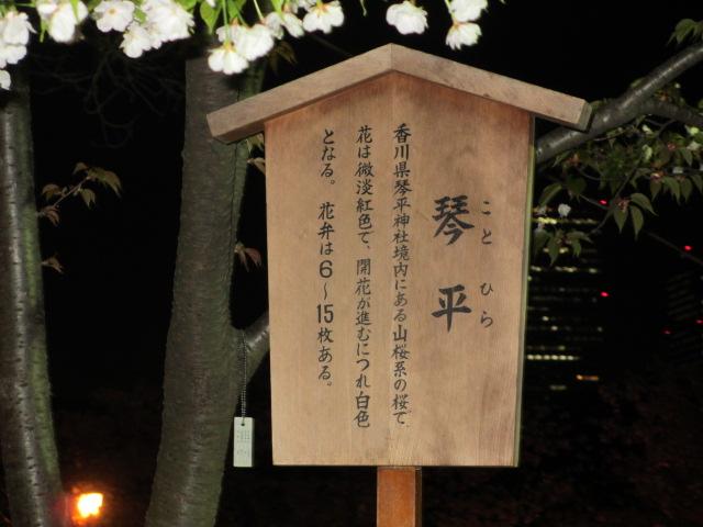 造幣局の桜の通り抜け「琴平」