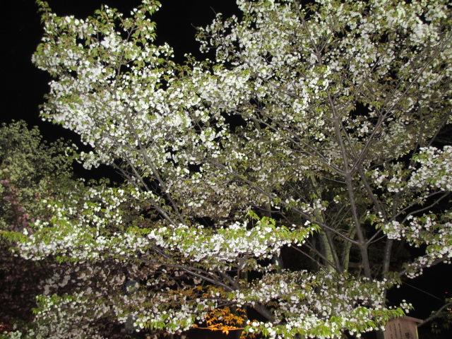 造幣局の桜の通り抜け「琴平」2