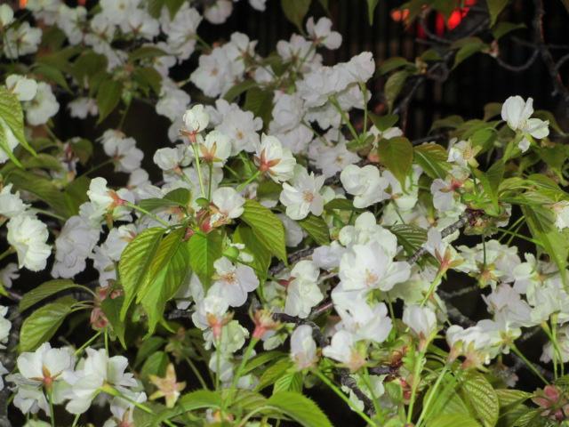 造幣局の桜の通り抜け「琴平」3