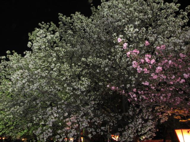 造幣局の桜の通り抜け「滝香」2