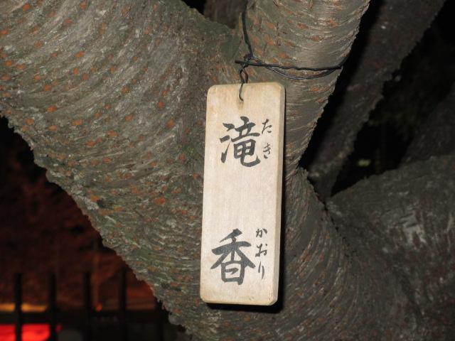 造幣局の桜の通り抜け「滝香」