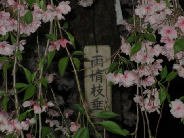 造幣局の桜の通り抜け「雨情枝垂」