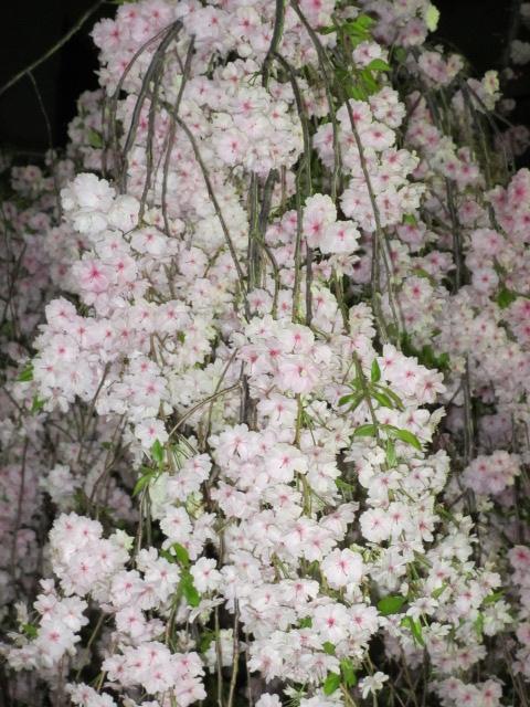 造幣局の桜の通り抜け「雨情枝垂」3