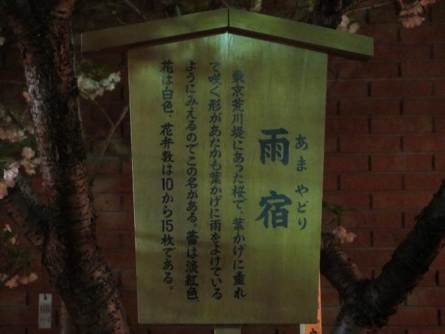 造幣局の桜の通り抜け「雨宿」
