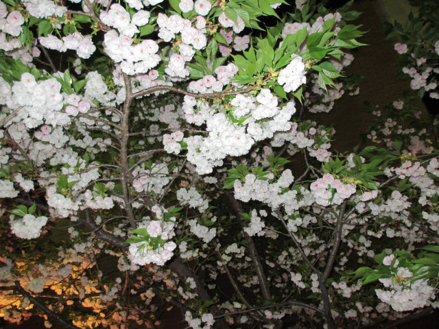 造幣局の桜の通り抜け「雨宿」2