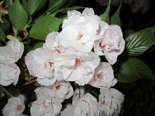 造幣局の桜の通り抜け「雨宿」3
