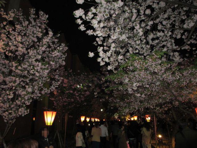 造幣局の桜の通り抜け6
