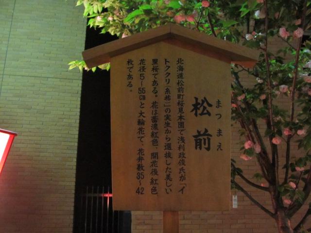 造幣局の桜の通り抜け「松前」