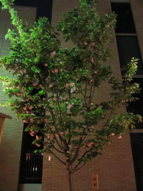 造幣局の桜の通り抜け「松前」2