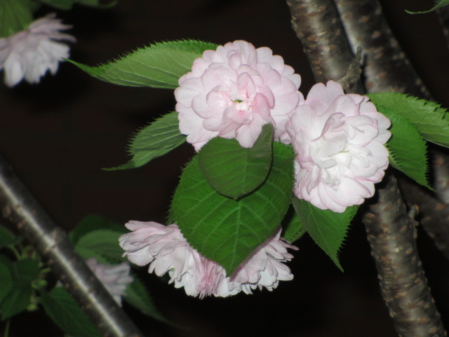 造幣局の桜の通り抜け「松前」3