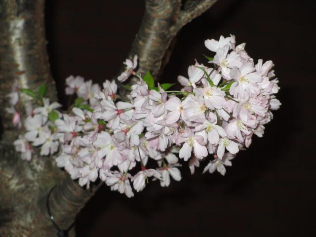 造幣局の桜の通り抜け「思川」3