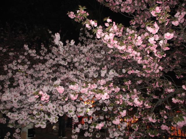 造幣局の桜の通り抜け「関山」11