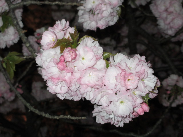 造幣局の桜の通り抜け「関山」12