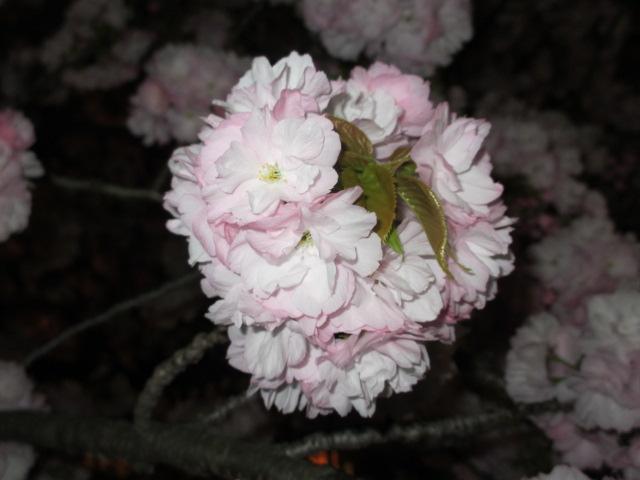 造幣局の桜の通り抜け「関山」13