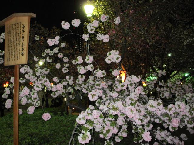 造幣局の桜の通り抜け「小手毬」7