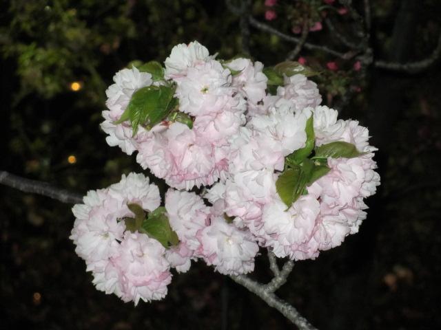 造幣局の桜の通り抜け「小手毬」8