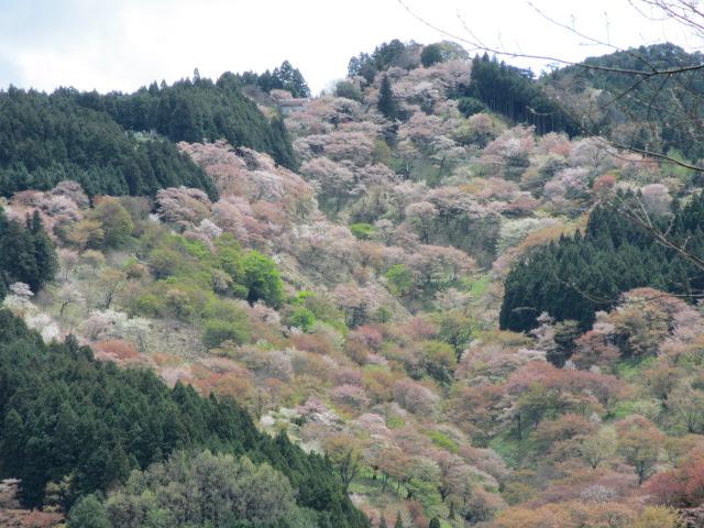 吉水神社(一目千本)4