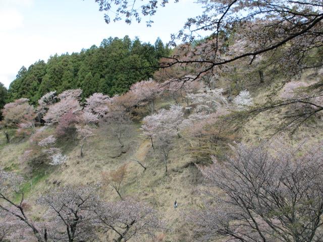 上千本の桜1