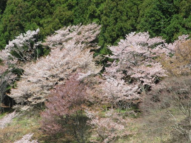 上千本の桜2
