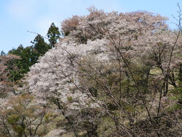 上千本の桜3