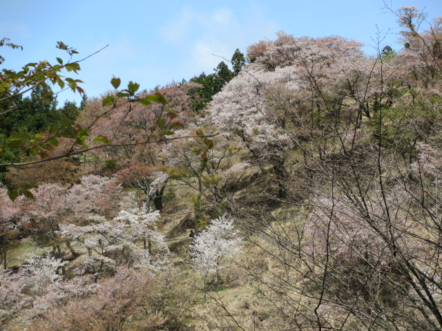 上千本の桜4