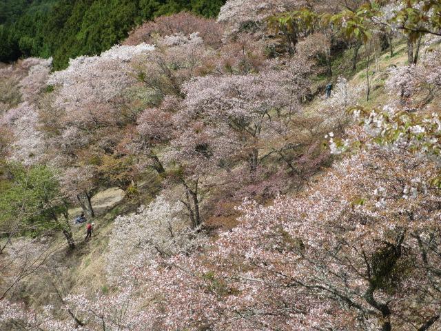 上千本の桜14