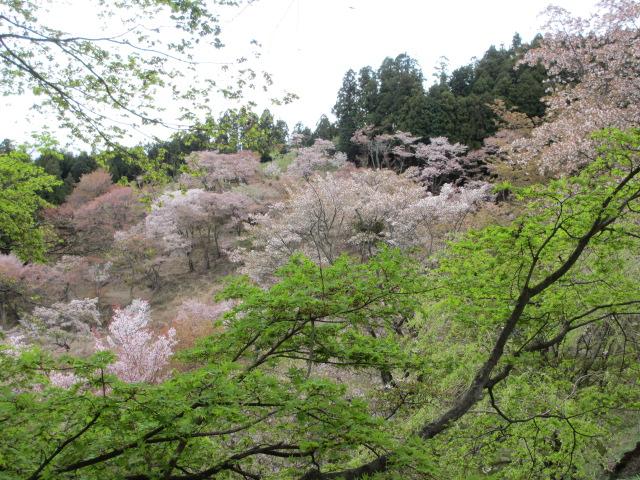 上千本の桜10