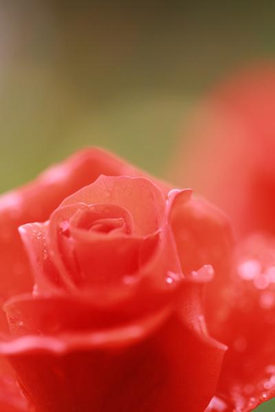 須磨のバラ1