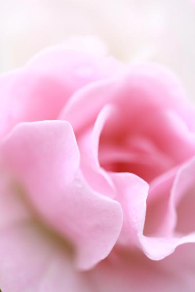 須磨のバラ3
