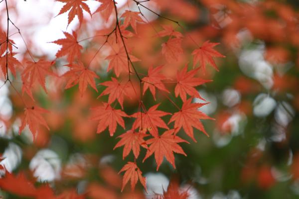 須磨の紅葉2