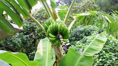島バナナ3