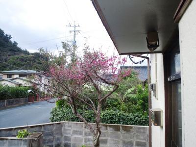 我家の桜1